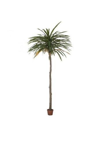 Planta Dracenea
